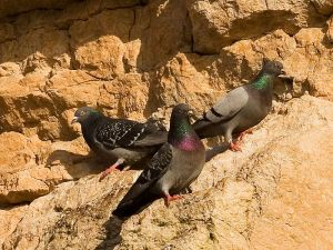 800px-Rock_pigeons_on_cliffs