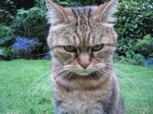 An angry cat because I am angry and people like cats with facial expressions.