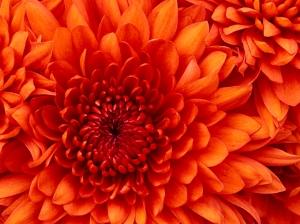 Just a chrysanthe mum.