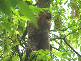 Woodchuck_up_a_tree